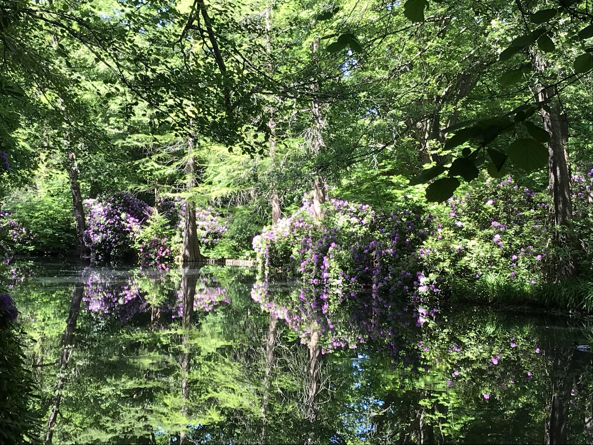 Rhododendronhain im Berliner Tiergarten 3