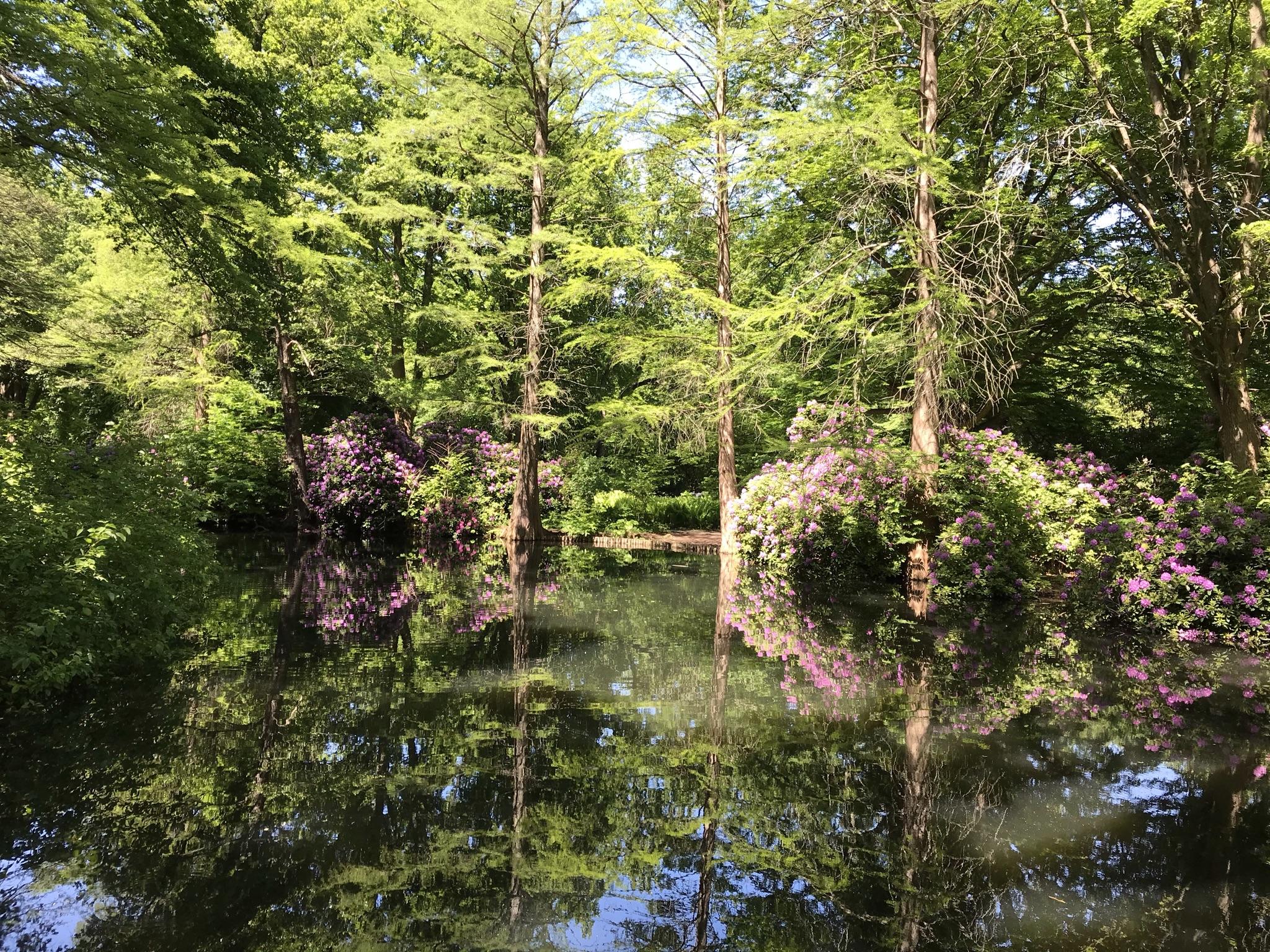 Rhododendronhain im Berliner Tiergarten 1