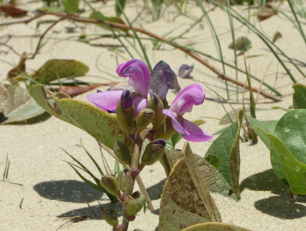 Orchidea da spiaggia