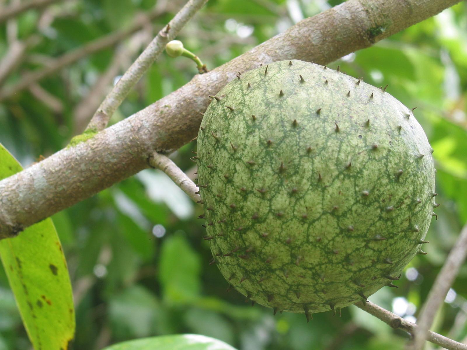 nombre cientifico de la semilla de guanabana