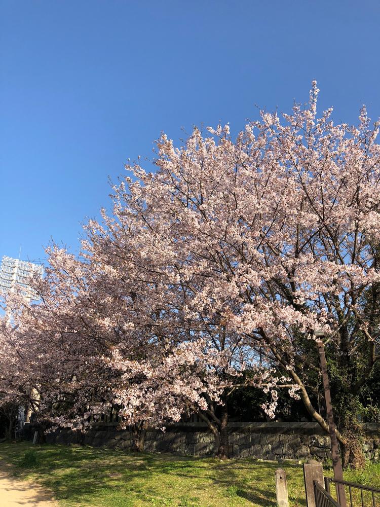 熊本の桜も悠然と咲き誇っておりました!