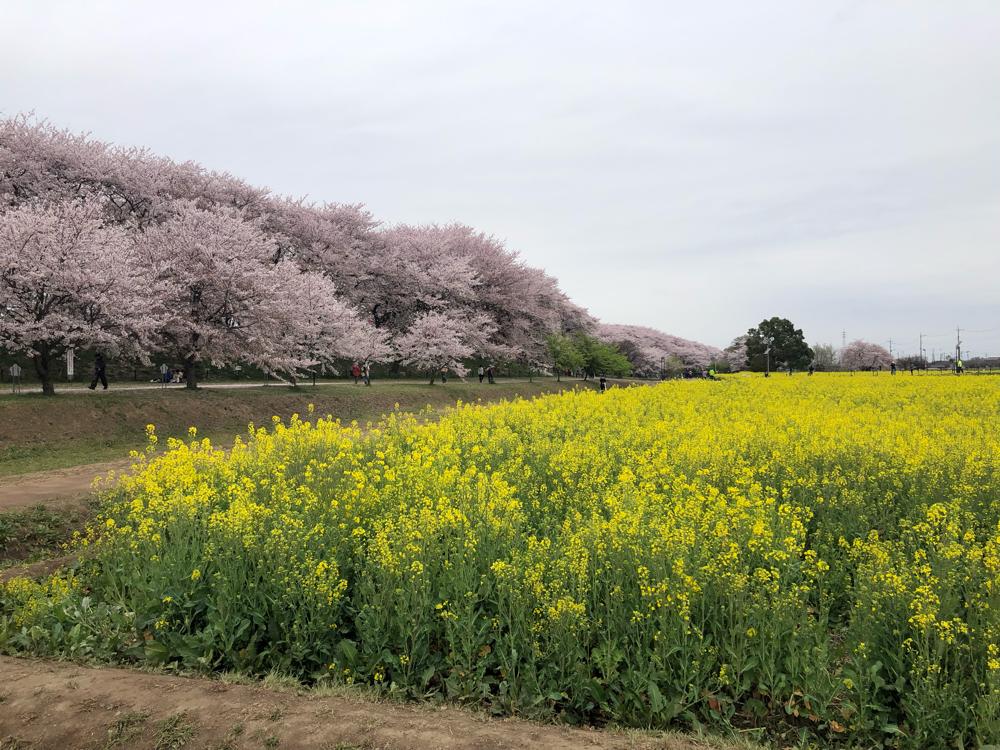 そして菜の花と桜。