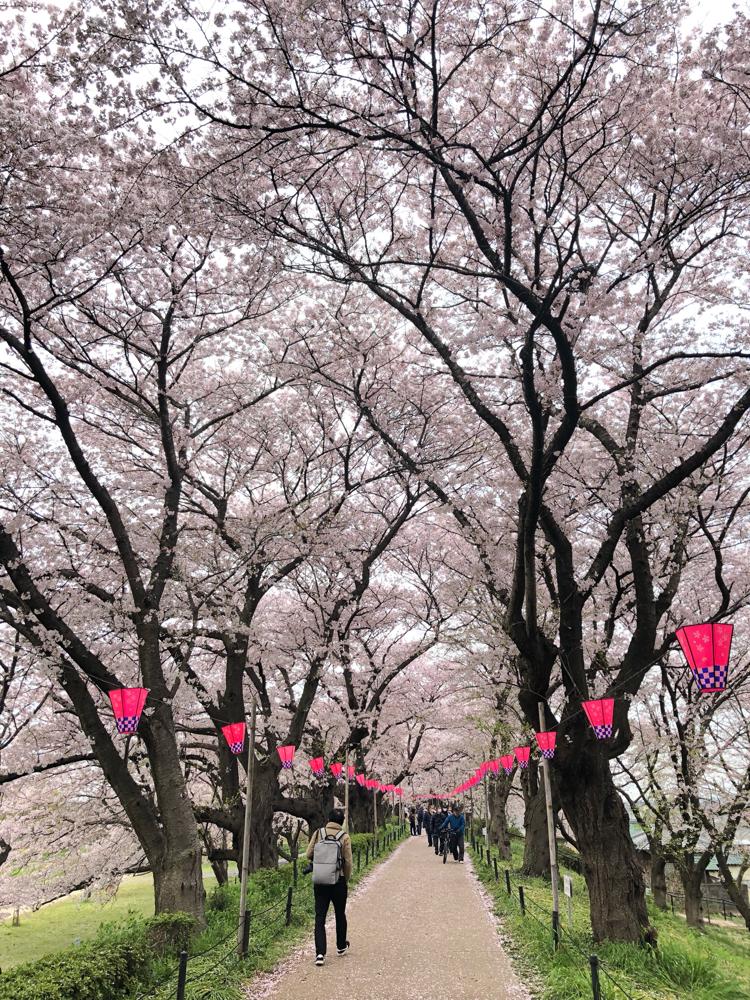 桜のトンネルです!!