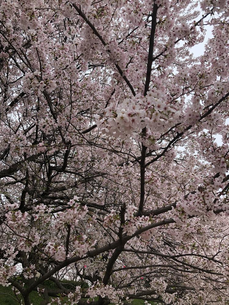 桜はいつ見てもキレイですねぇ。