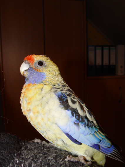 Попугай Филипп