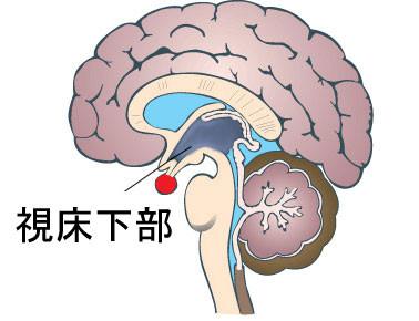 交感神経優位 視床下部 命令