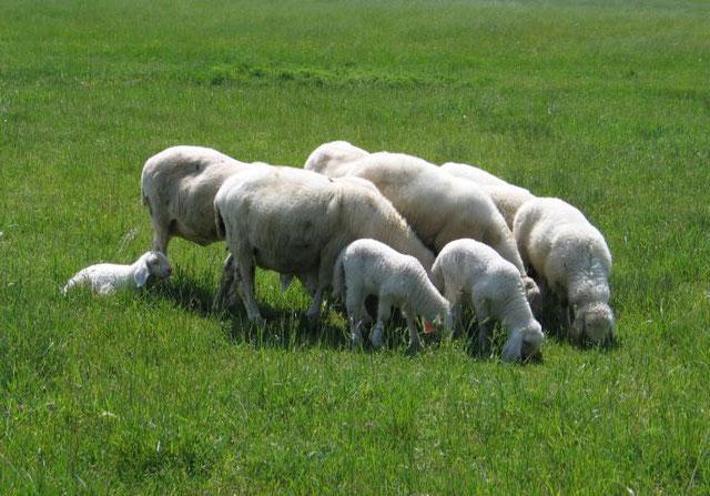 Schafe bei Habach