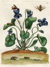 Veilchen, Kupferstich von Sybilla Merian