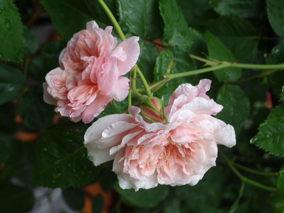 Rose de Tolbiac