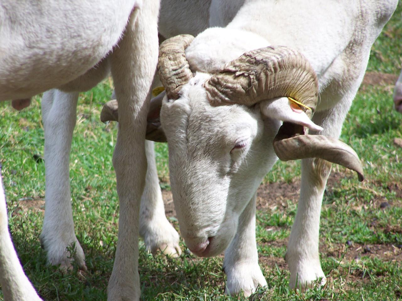Mouton, brebis, agneau...