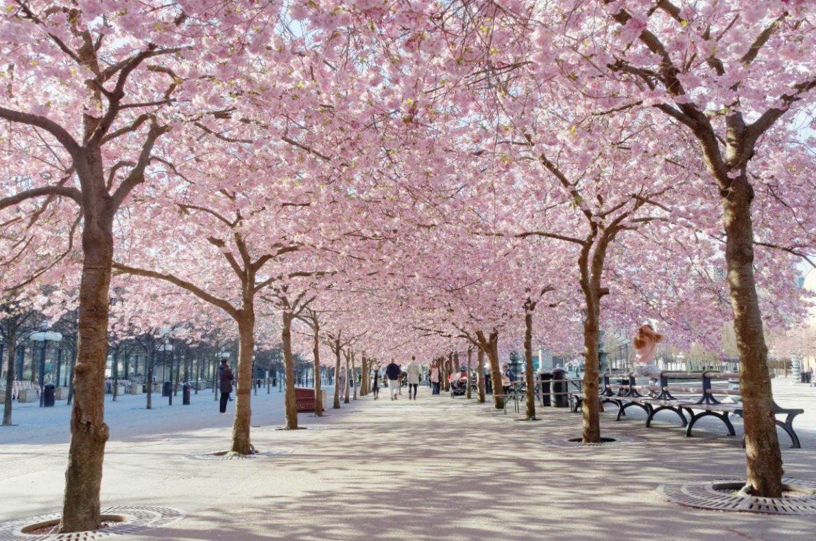 Cherry blossoms in Europe - STOCKHOLM, SWEDEN The public park Kungstradgarden with beautiful blooming cherry tree avenue and distant people Copyright   Hans Christiansson   - European Best Destinations