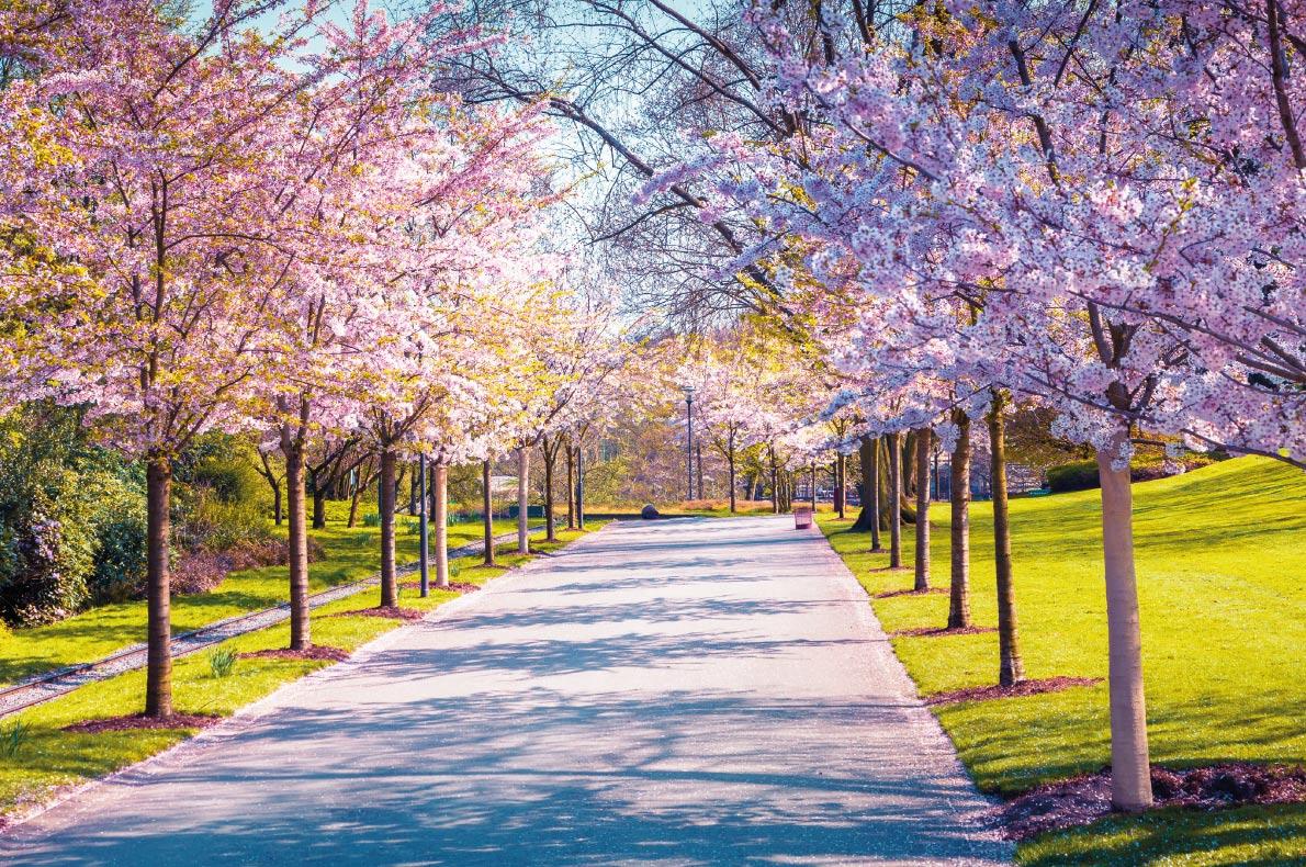 Cherry blossoms in Europe - Botanical Garden of Essen Copyright  Andrew Mayovskyy   - European Best Destinations