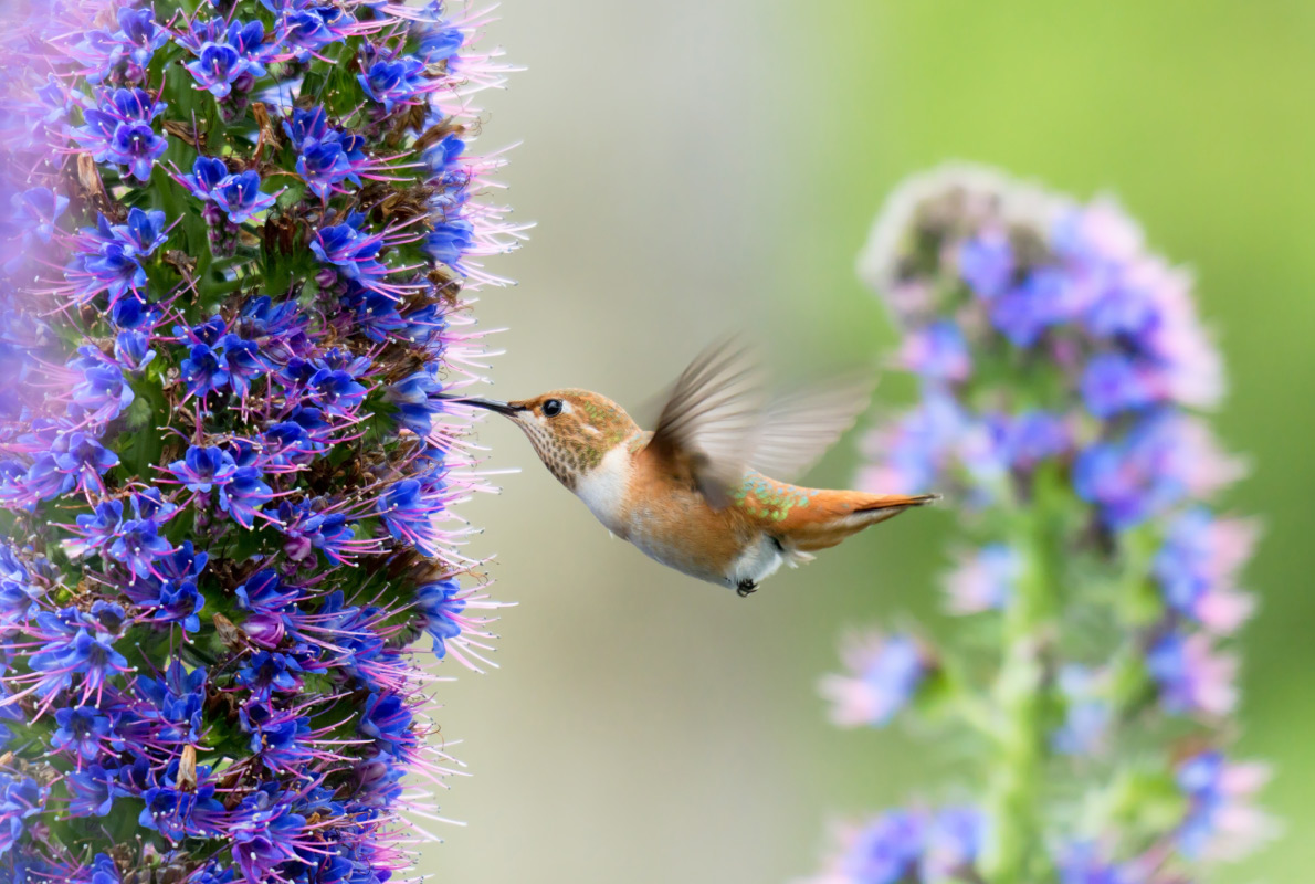 Madeira - Hummingbird - Best Bird Watching destinations in Europe - Copyright Lukasz Janyst  - European Best Destinations   - European Best Destinations