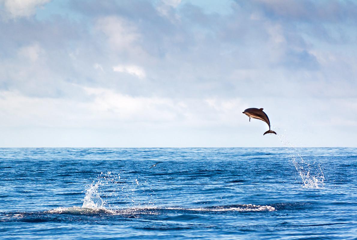 Madeira - Best dolphins and whales destinations in Europe - Copyright Dennis van de Water - European Best Destinations