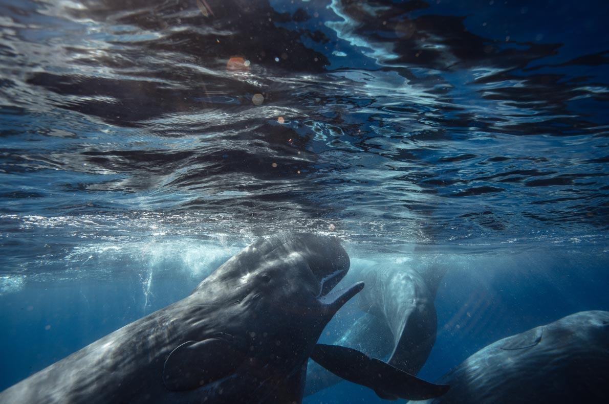 Best sustainable destiantions in Europe - Azores - Sperm whales - copyright Willyam Bradberry   - European Best Destinations