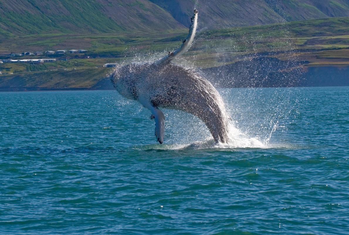 Iceland - Best dolphins and whales destinations in Europe - Copyright Tatonka - European Best Destinations