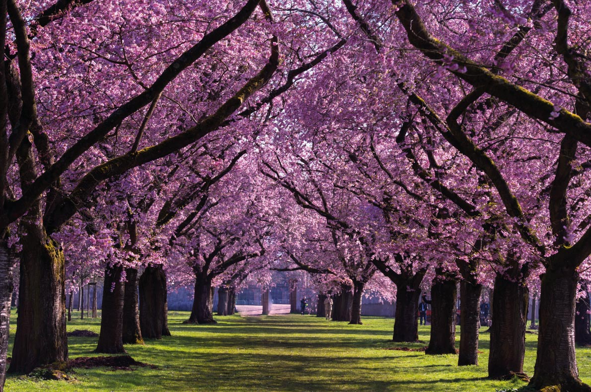 Cherry Blossoms In Europe Europe S Best Destinations