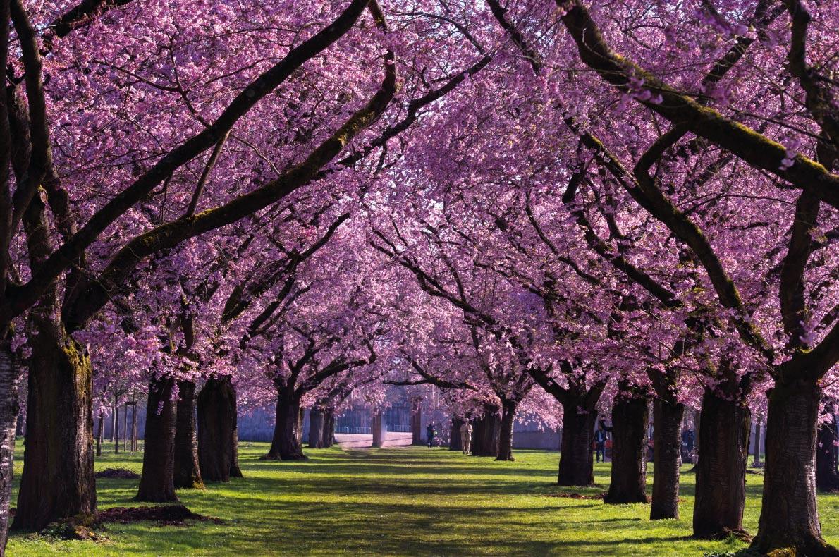 Cherry blossom tree in Europe - Almond blossom in the garden of the castle Schwetzingen in Germany copyright Midgarson - European Best Destinations