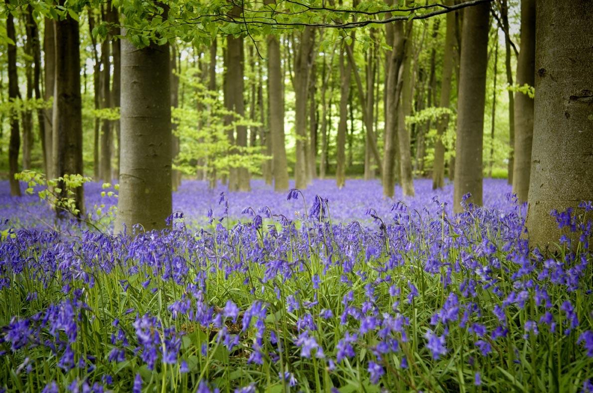 Best natural wonders in England - Bluebells hampshire woods - European Best Destinations