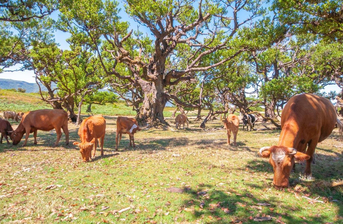 fanal-laurel-trees-madeira