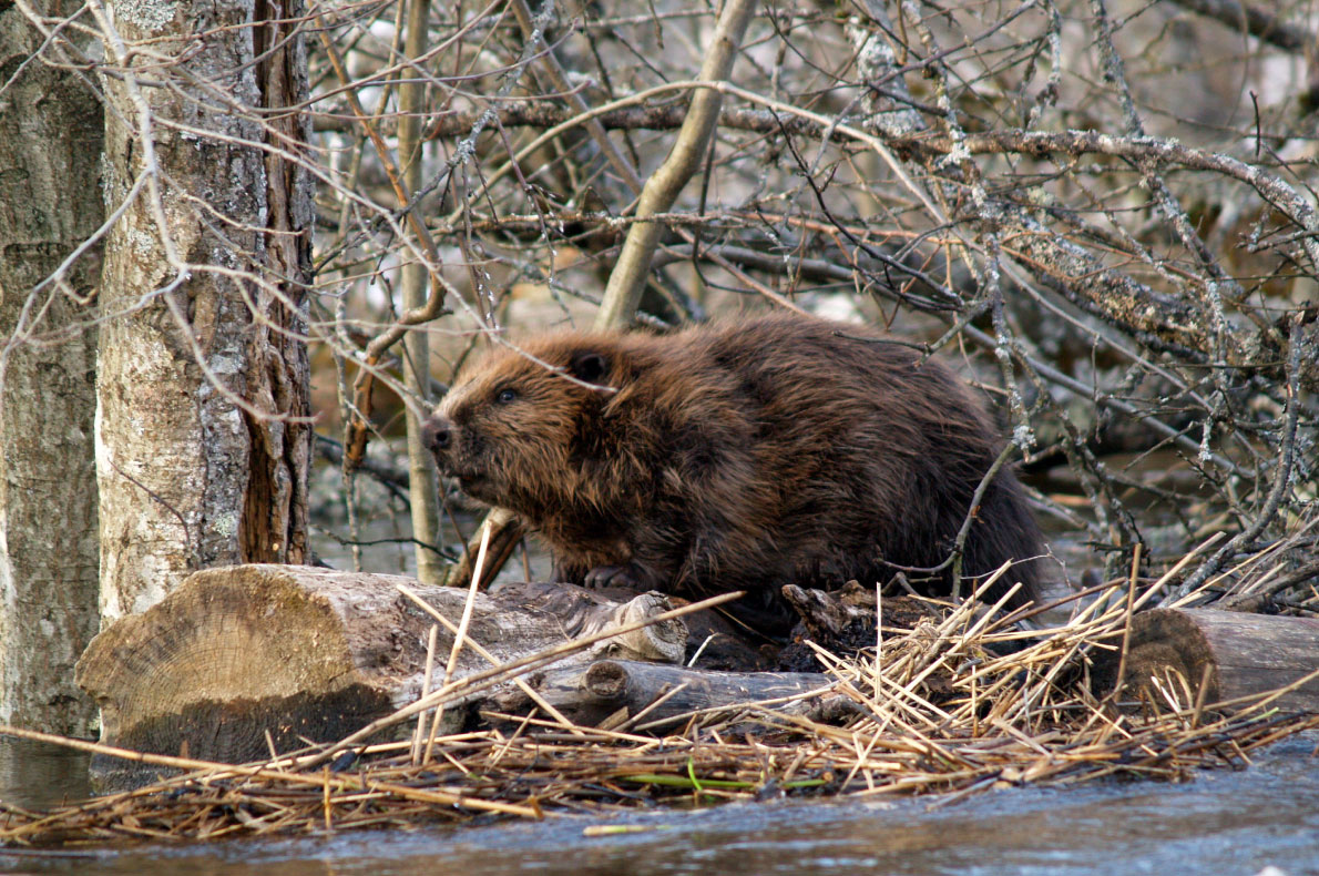 Best sustainable experiences in Europe - Beaver safari in Soomaa - Copyright VisitSoomaa.com  - European Best Destinations