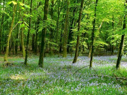 Tapis de jacinthes sauvages en forêt d'Andaine, Normandie, Orne