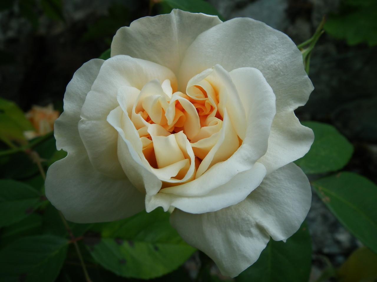 balade nature : les roses du jardin - Balade nature