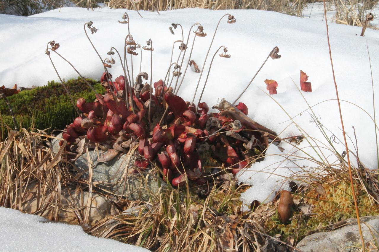 sarracénia sous la neige