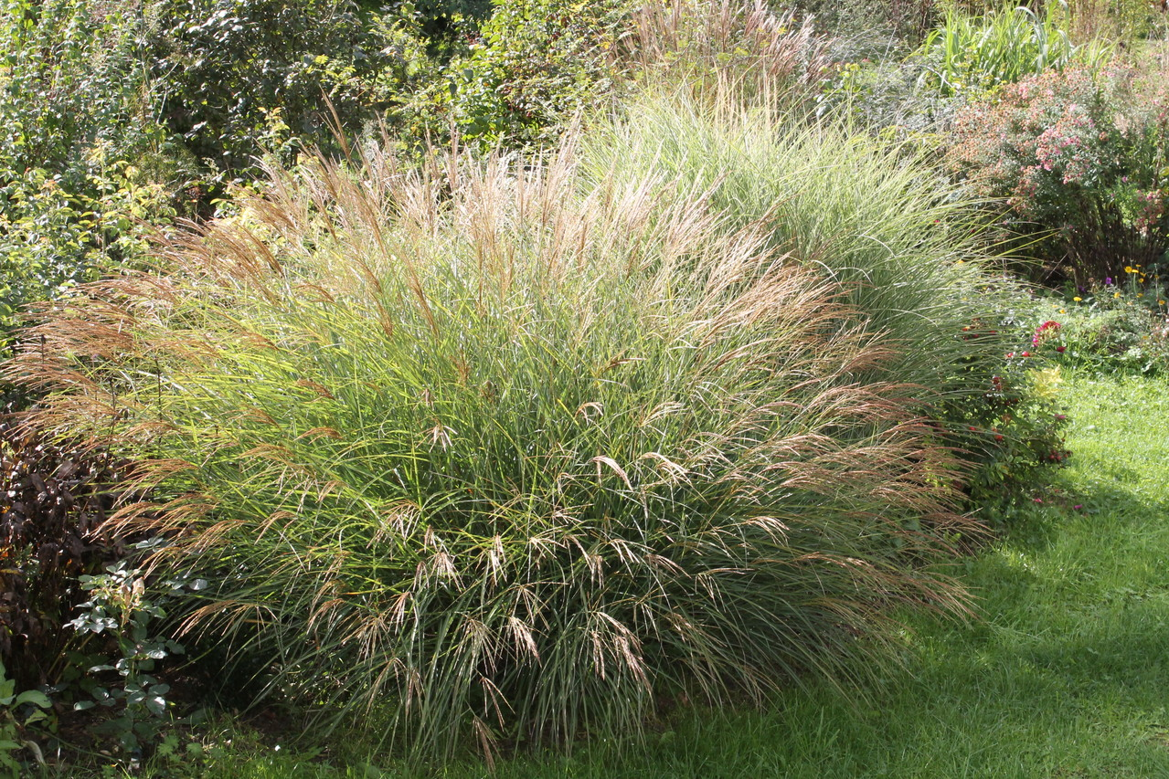 Miscanthus 'yaku jima' en octobre. Photo P.Lamour