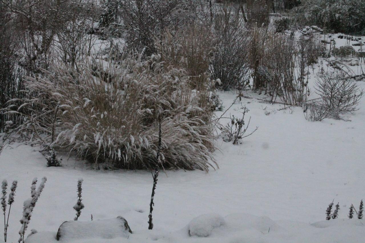 Miscanthus 'yaku jima' sous la neige. Photo P.Lamour