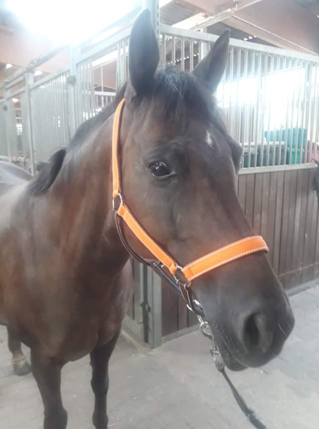 Warmblut Orange/Braun