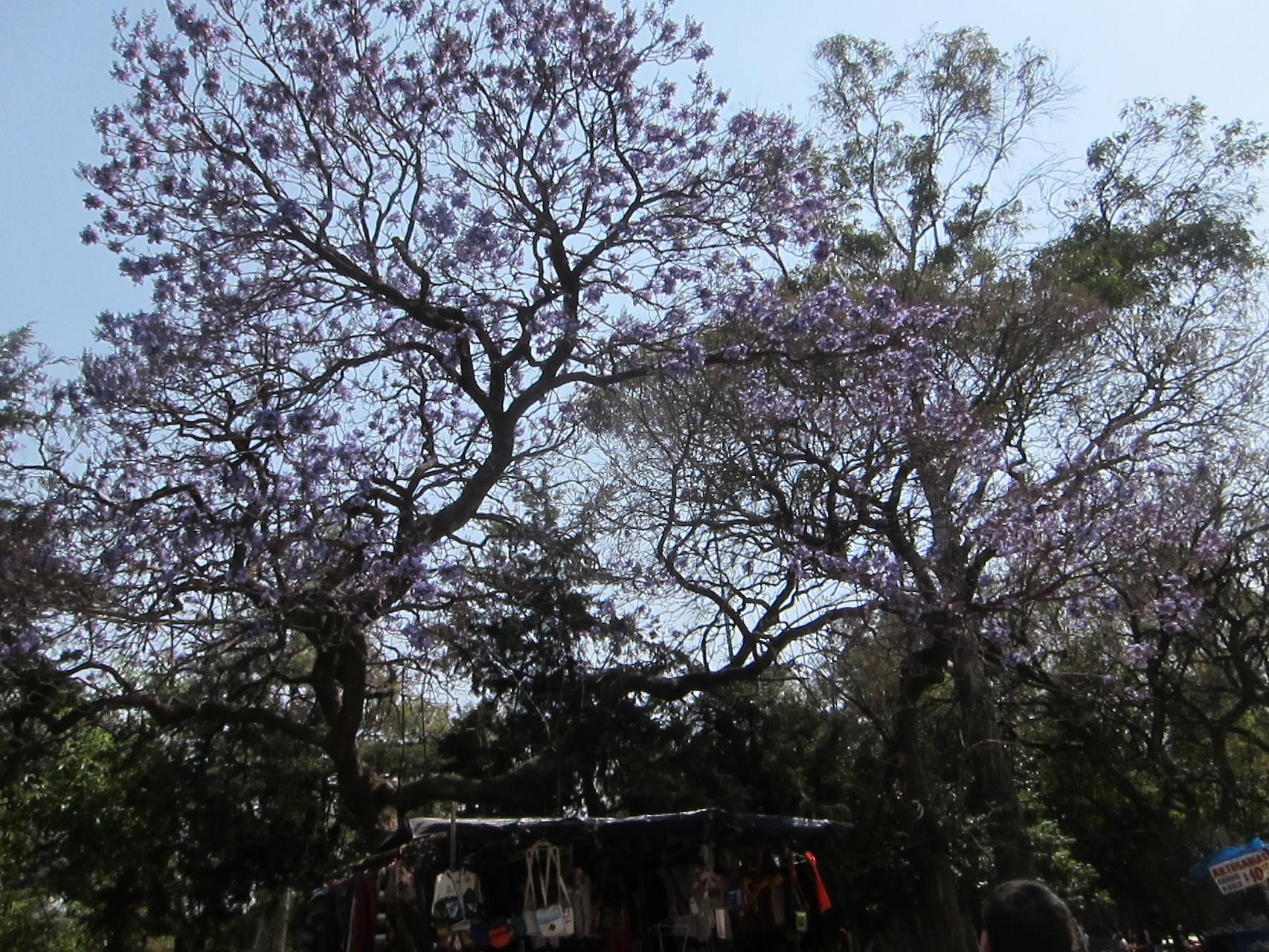 ジャガランダの花が咲いています
