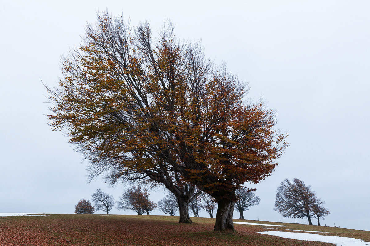 Windbuchen am Schauinsland