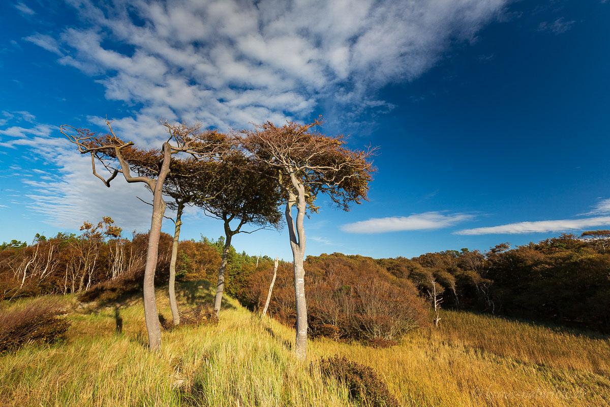 Windflüchter in den Dünen am Weststrand