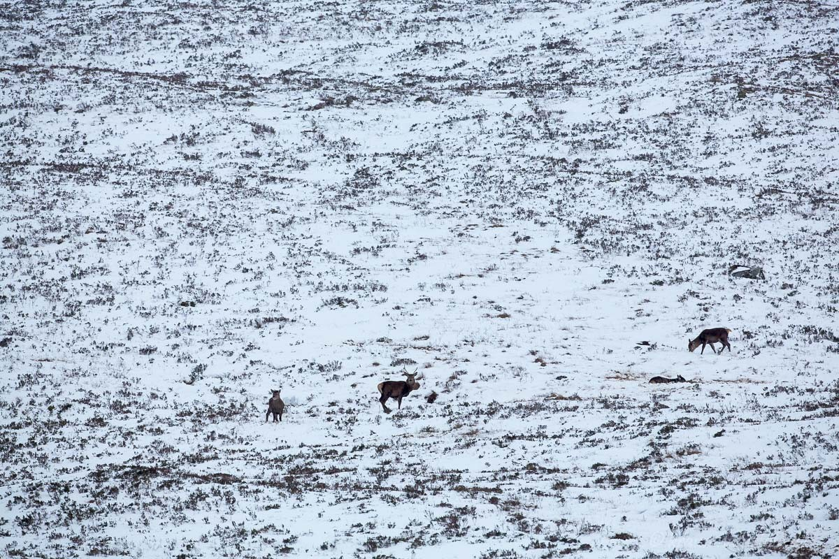 Hirsche im Glencoe