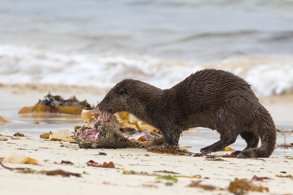 Otter mit gefangenem Seehasen