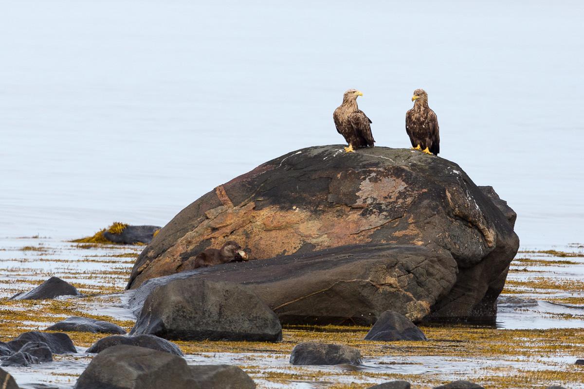 Seeadler und wer genau hinschaut sieht auch den Otter beim fressen
