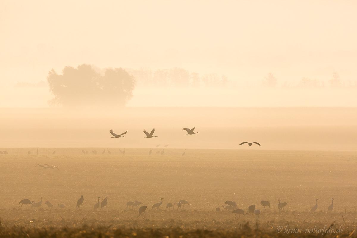 Kraniche im Morgennebel