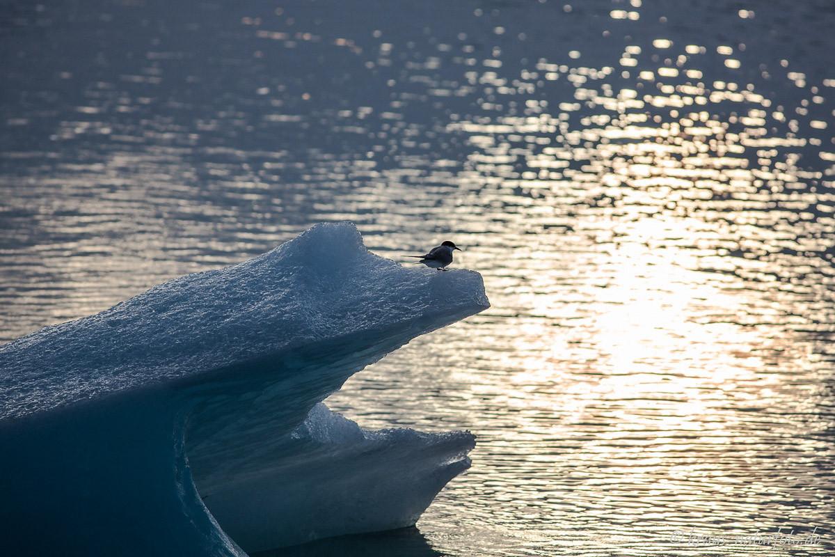 Küstenseeschwalbe auf Eisberg, Gletscherlagune Jökulsarlon