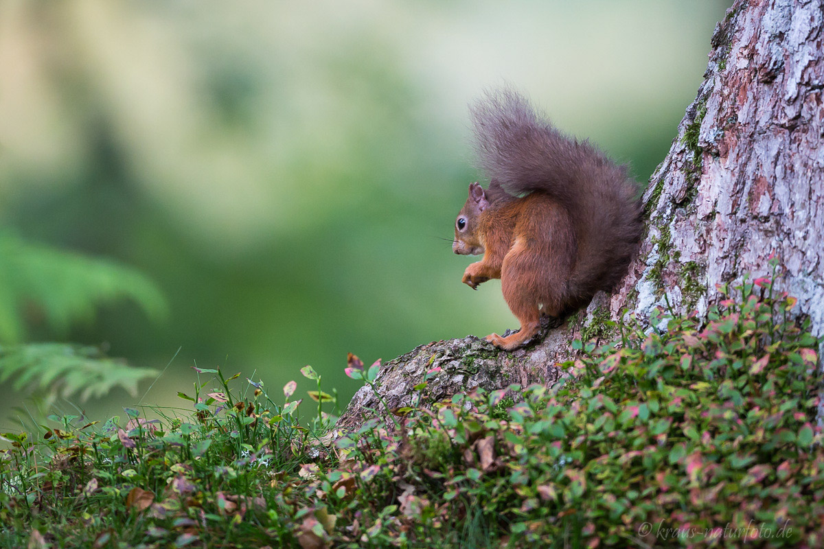 Red Squirrel, Eichhörnchen