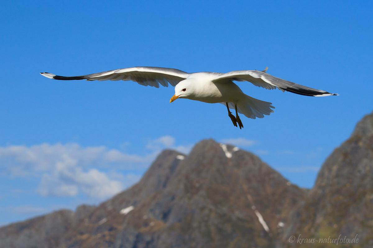 Möwe, Lofoten