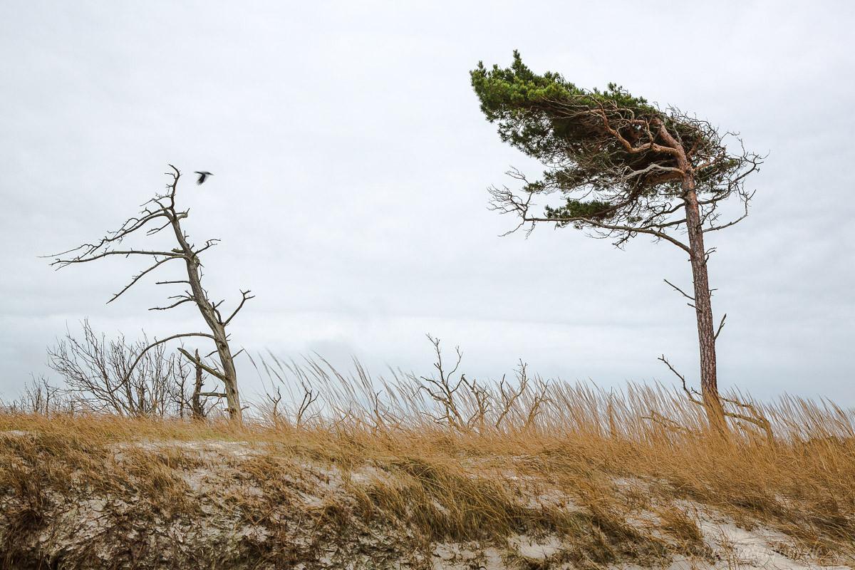Windflüchter, Darßer Weststrand
