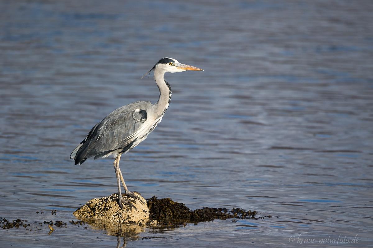 Graureiher, Loch Fleet