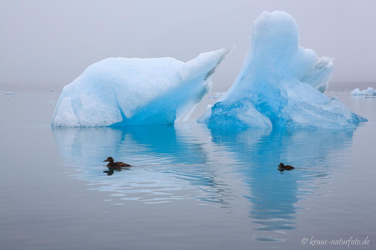 Eiderente vor Eisberg, Gletscherlagune Jökulsarlon