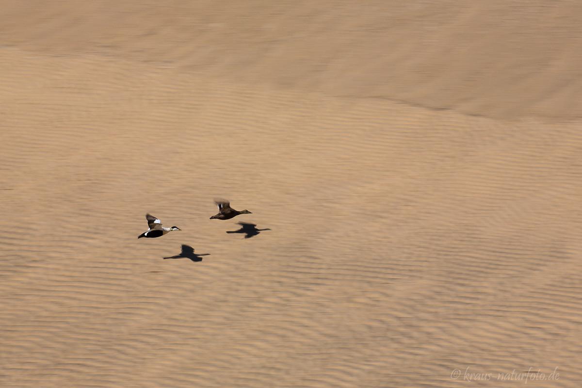 Eiderenten fliegen über Strand
