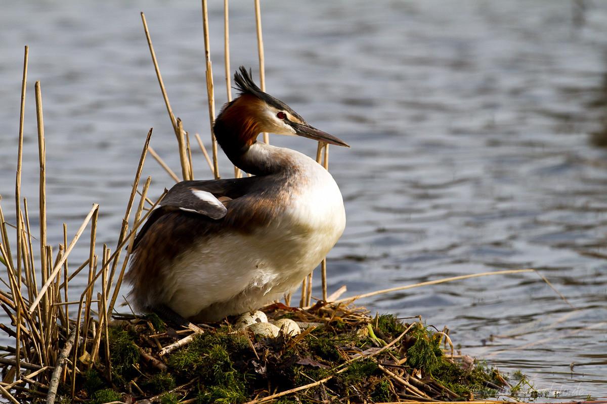 Haubentaucher auf Nest