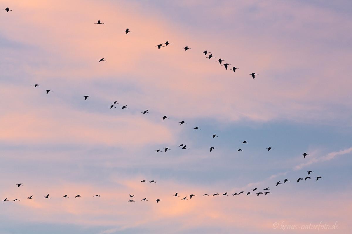 Kraniche am Abendhimmel