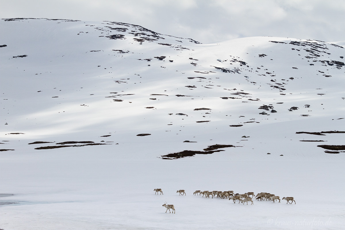 wandernde Rentierherde, Norwegen