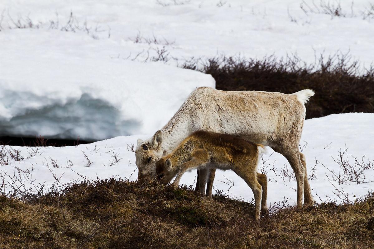 Rentier mit Kalb; Norwegen