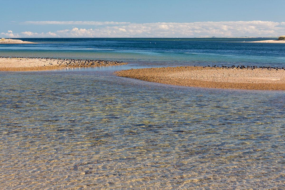 Austernfischer auf Kiesbank, Loch Fleet